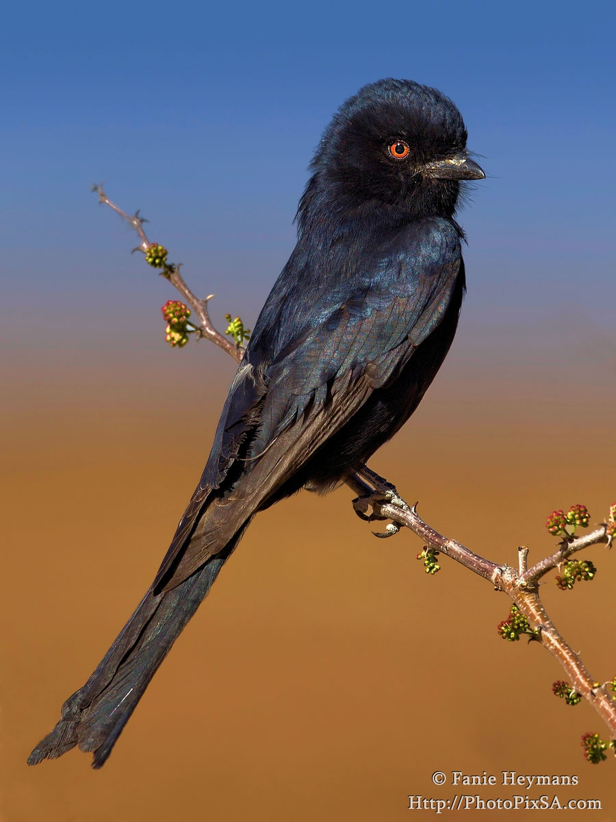 African Fork Tailed Drongo