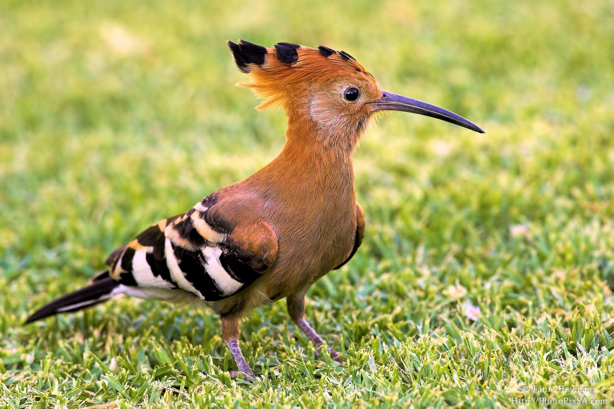 African Hoopoe on grass