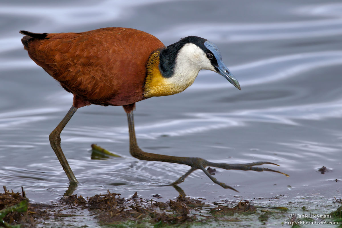 African Jacana at Lower Sabie Dam