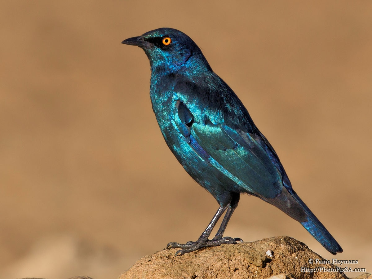 Cape Glossy Starling on Rock
