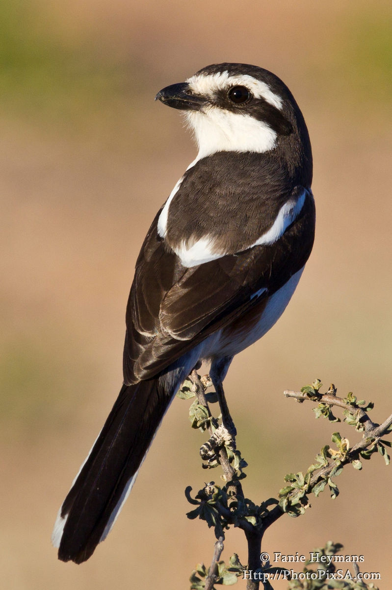 Common Fiscal Shrike Perching on a branch