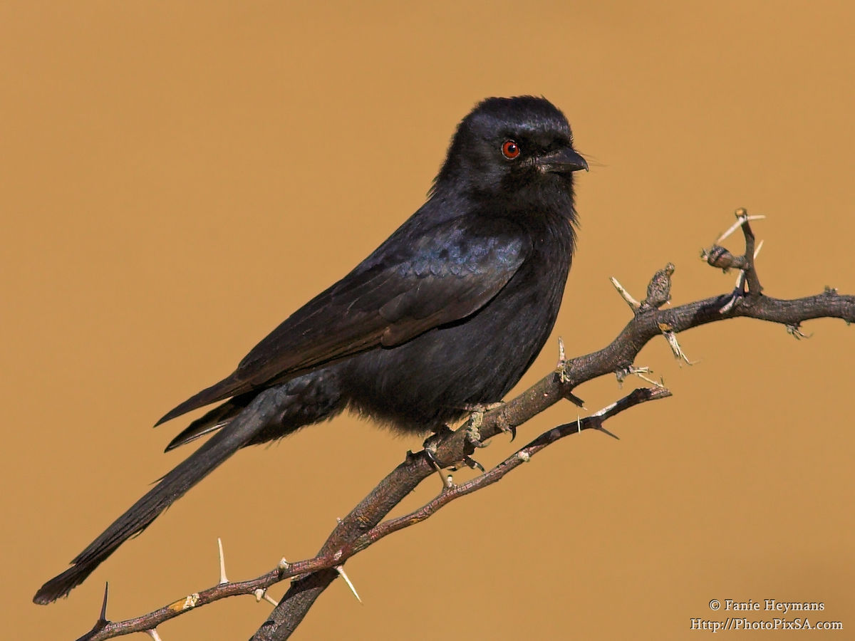 Fork Tailed Drongo on branch