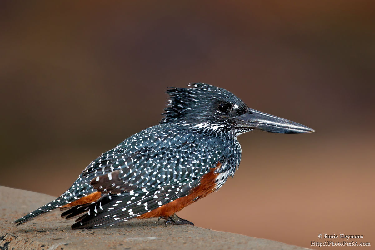 The Giant Kingfisher the largest in Africa