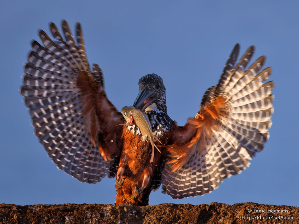 Giant Kingfisher touching down with fish