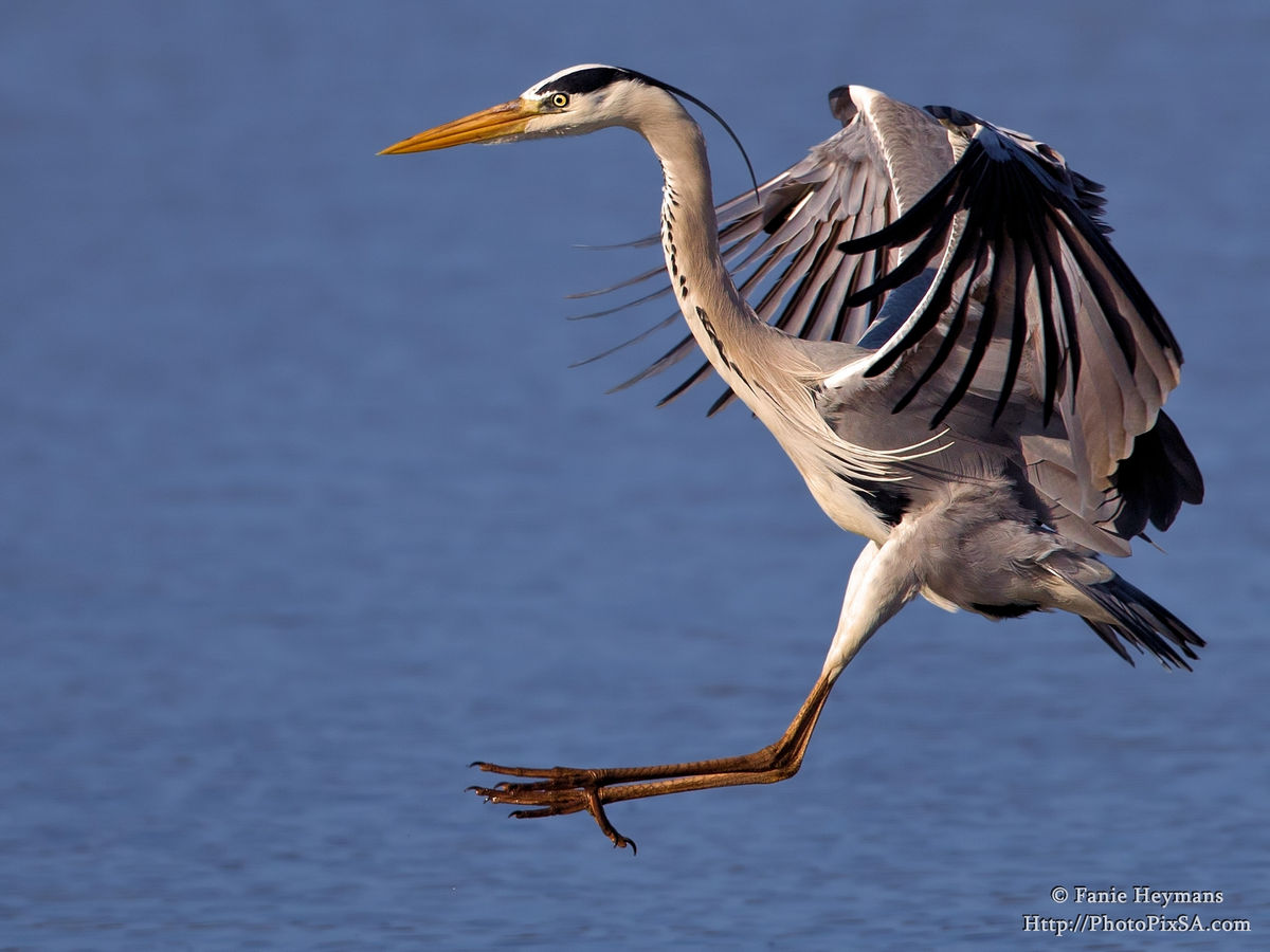 Heron Stretching Down