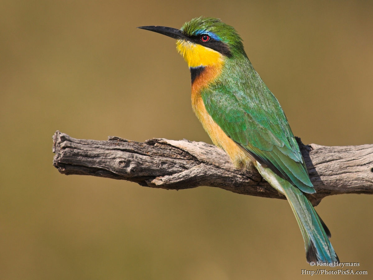 Litlle Bee-eater on branch