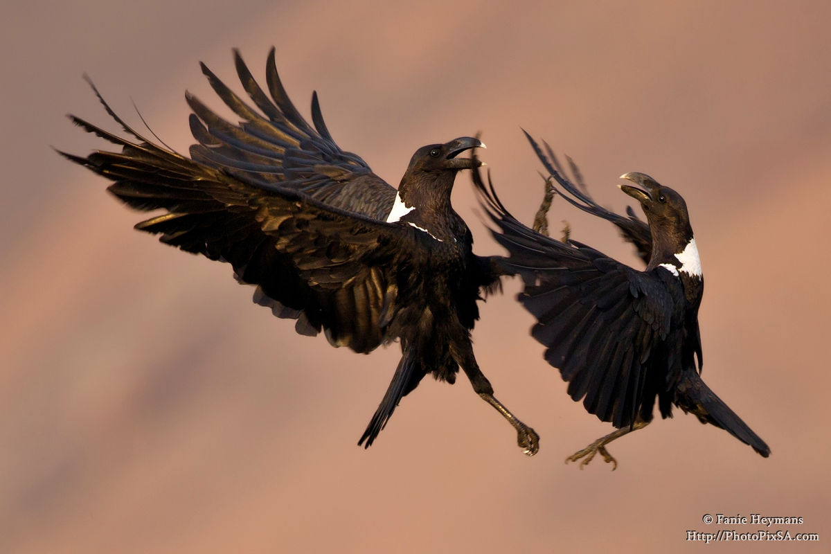 Mid air fight between two Pied Crows