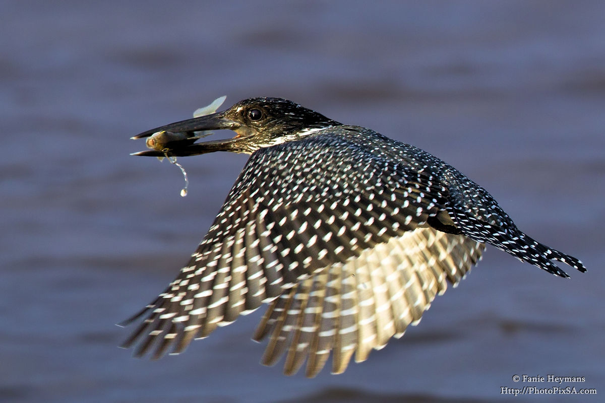 Pied Kingfisher fly-by with fish
