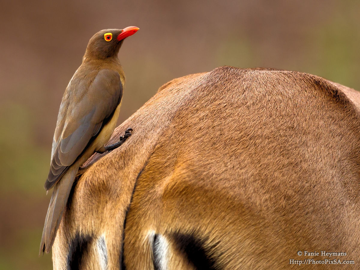 Red-billed Oxpecker on Impala