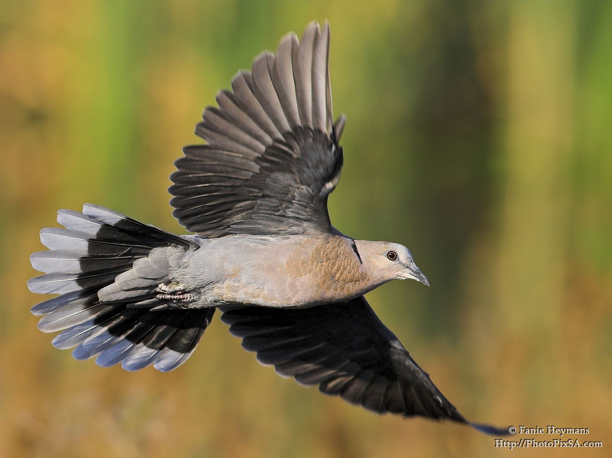 Ring-necked or Cape Turtle-Dove