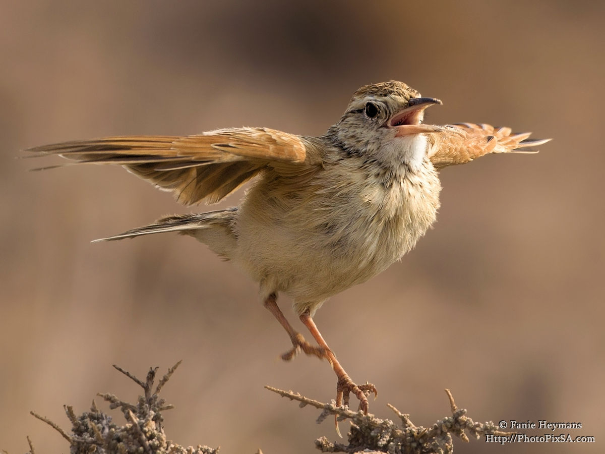 Stark's Lark Jumping up and down