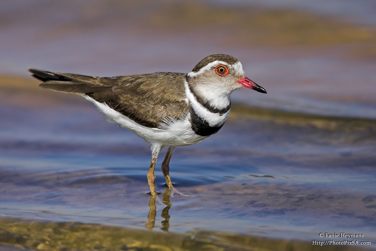 Three-banded plover at water edge