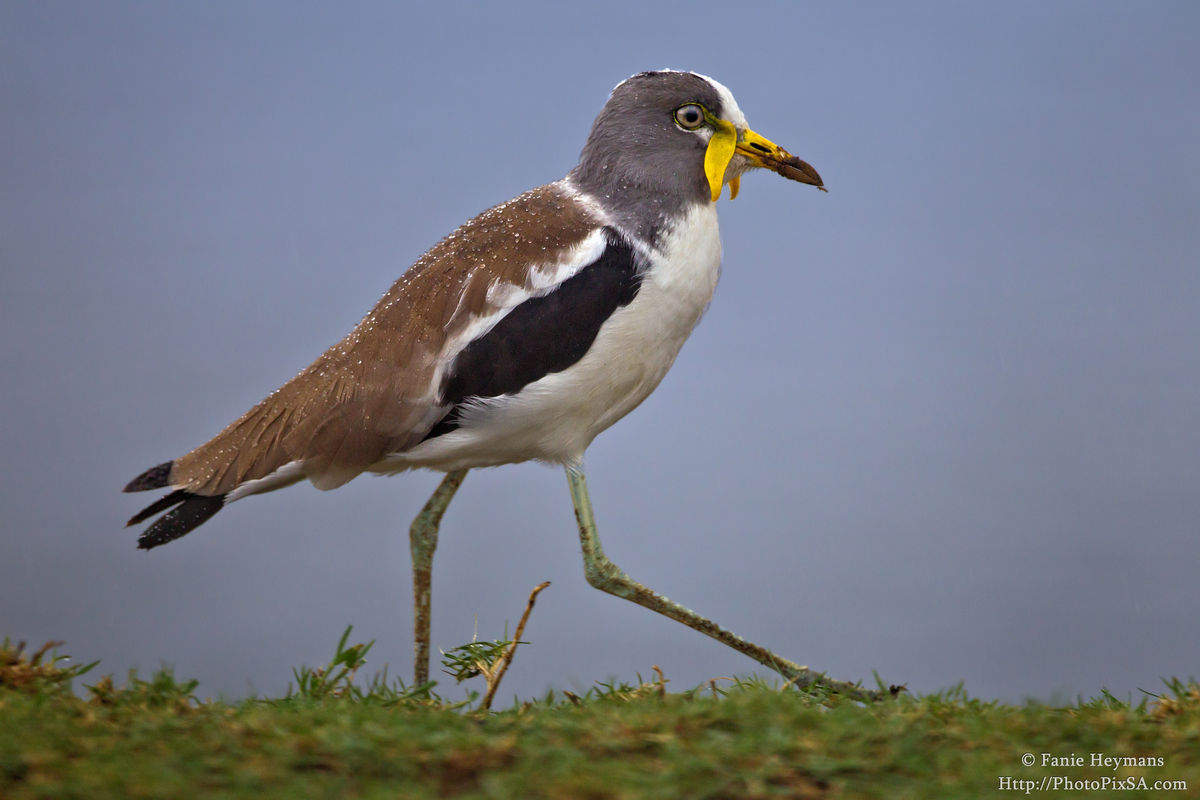 White Headed Lapwing at Lower Sabie Dam