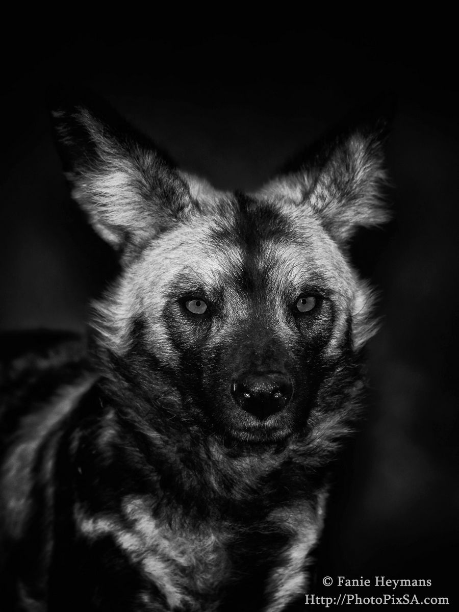 African Wildog portrait at Kruger National