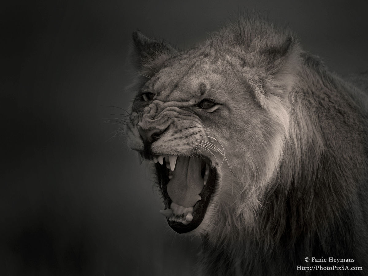 Aggressive young male Lion