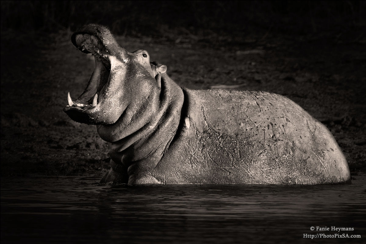 Big Mouth Hippo in Africa