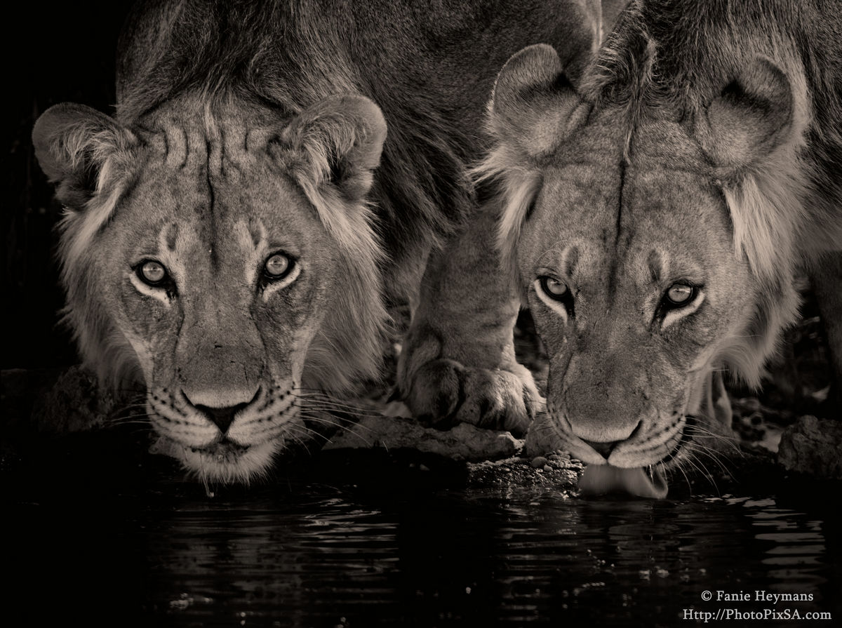 drinking-lion-brothers-black-white