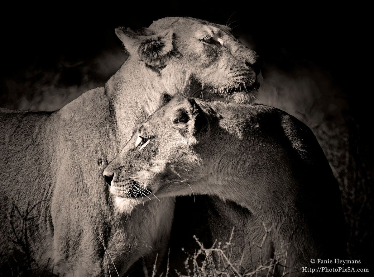 Interaction between two Lioness