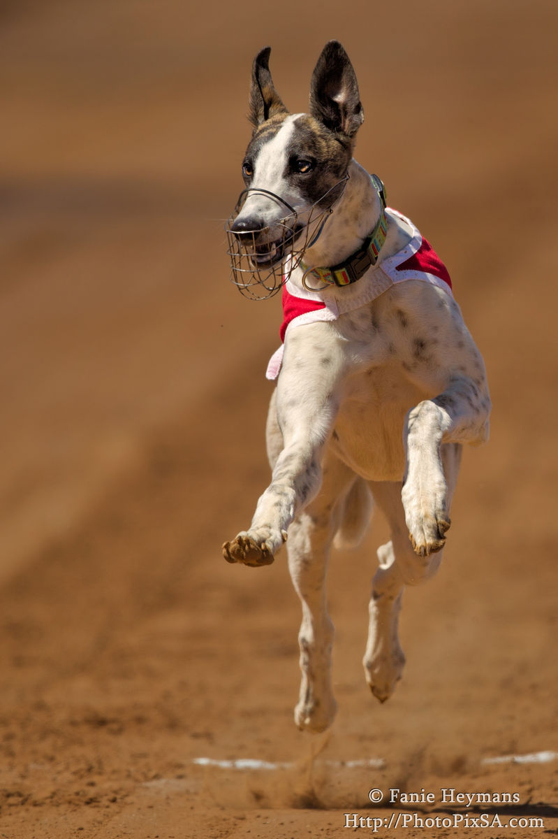 Greyhound Champion firs over the line