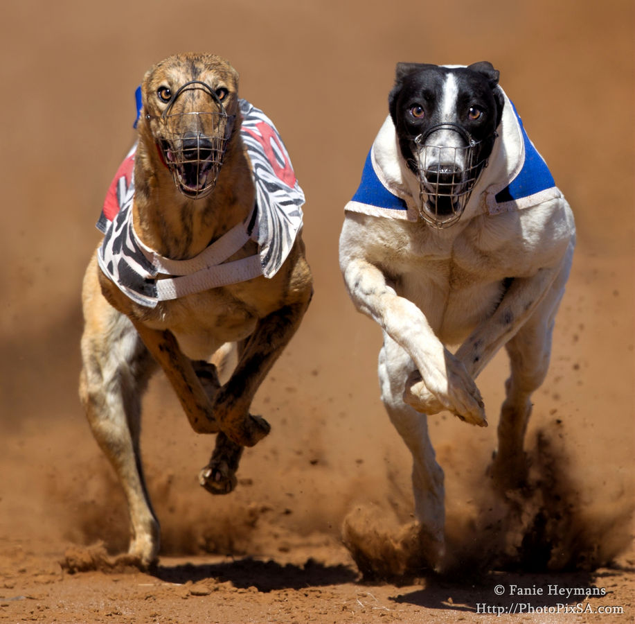 Greyhounds Racing Competition