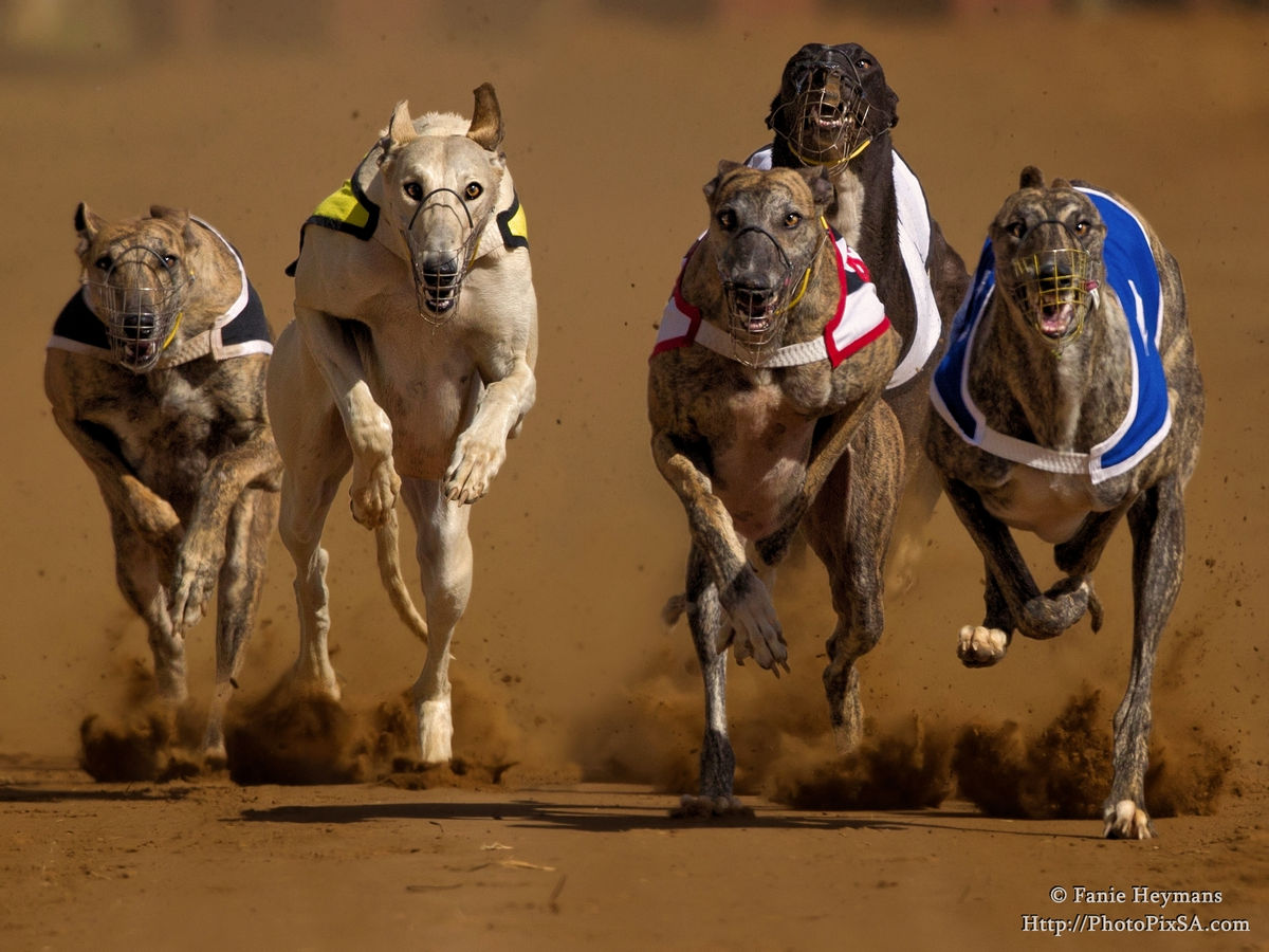 Five to one Greyhound dog race