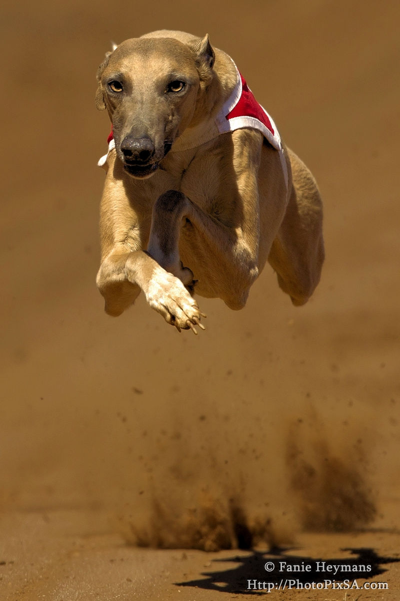 Flying High Wippet Greyhound airborne