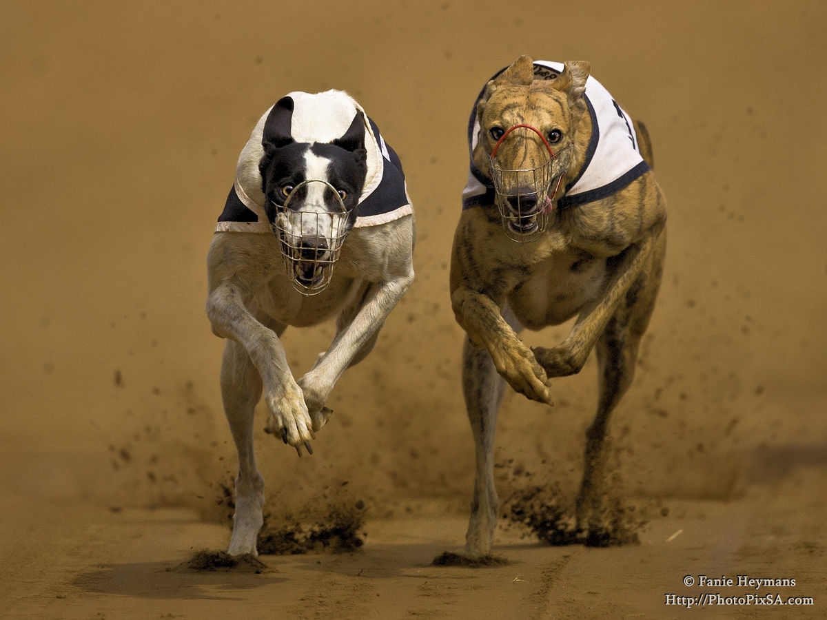 The Chase is on between two Greyhounds
