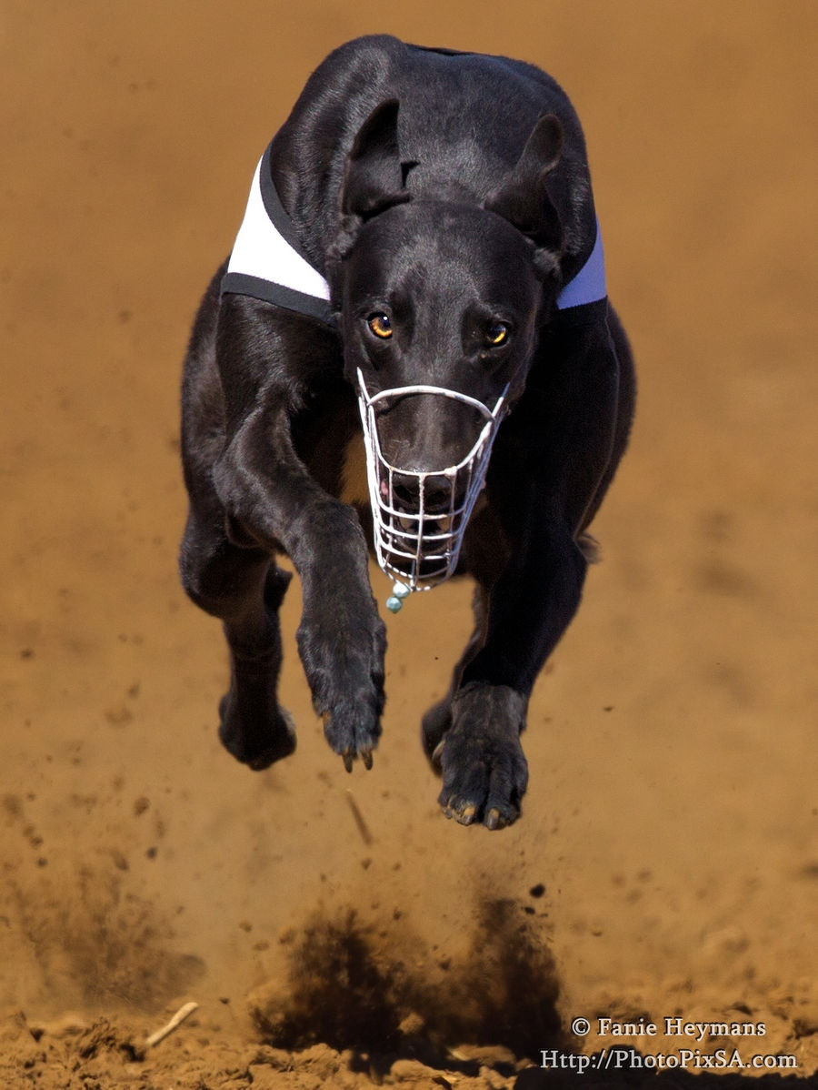 Black Greyhound dog with percing eyes