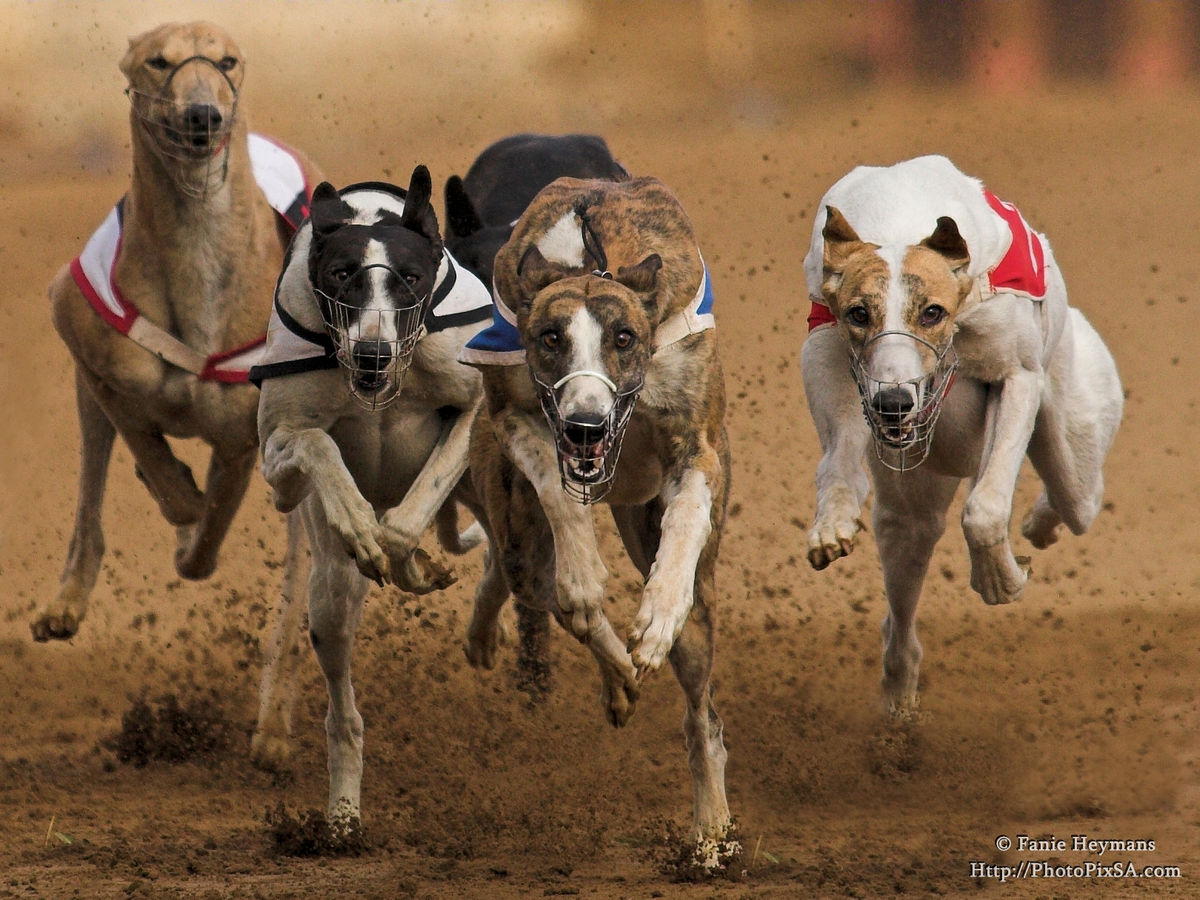 Greyhound dogs racers out of the blocks