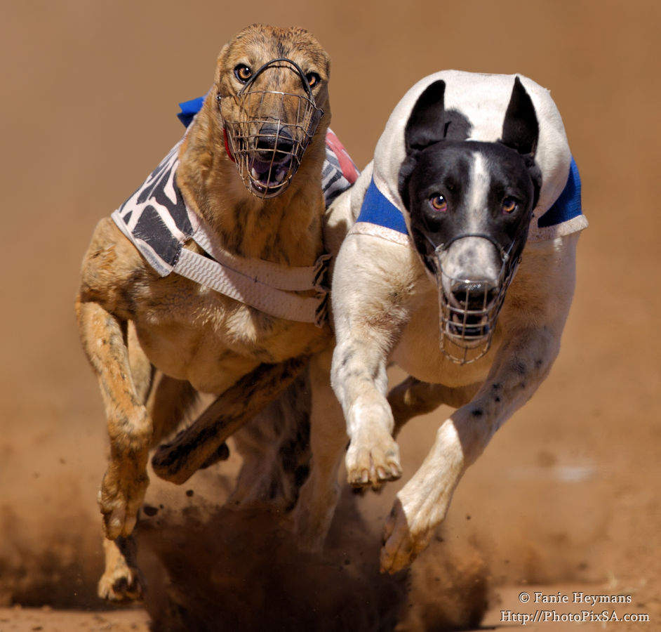 Greyhound dogs popping out of the screen