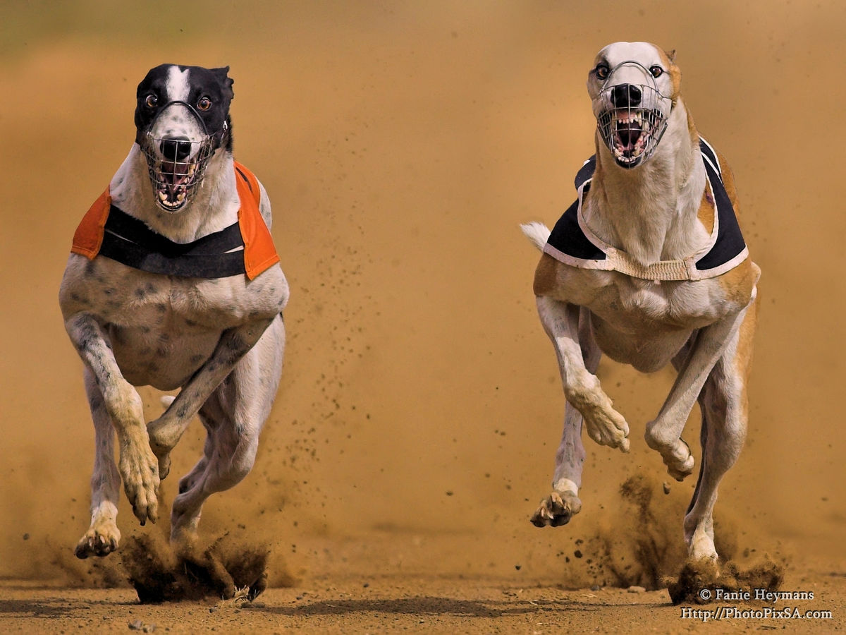 Greyhound dog Dust runners