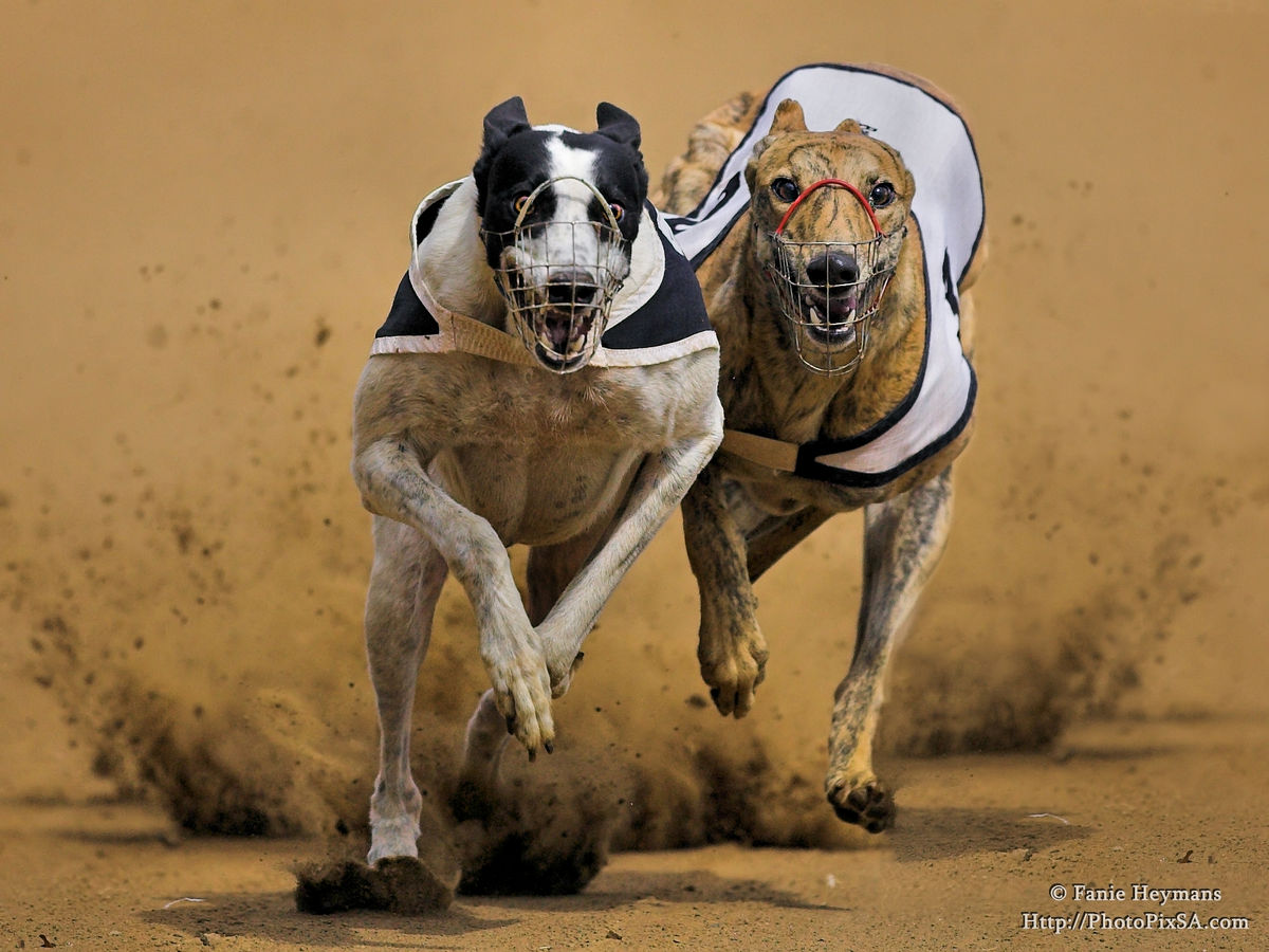 Greyhounds dogs competing on the race track