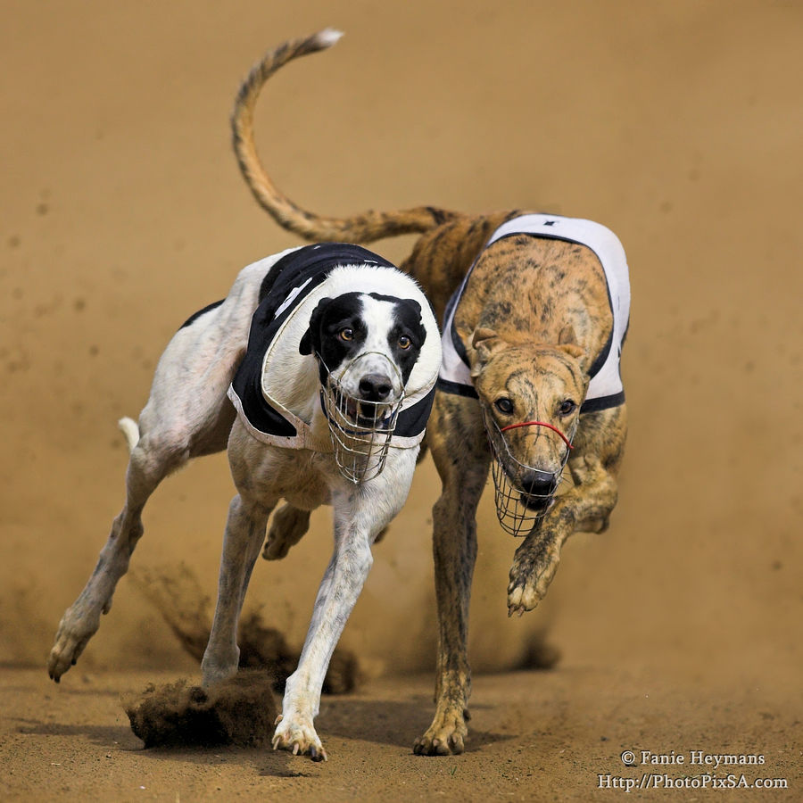 Greyhounds dogs  with tail in air