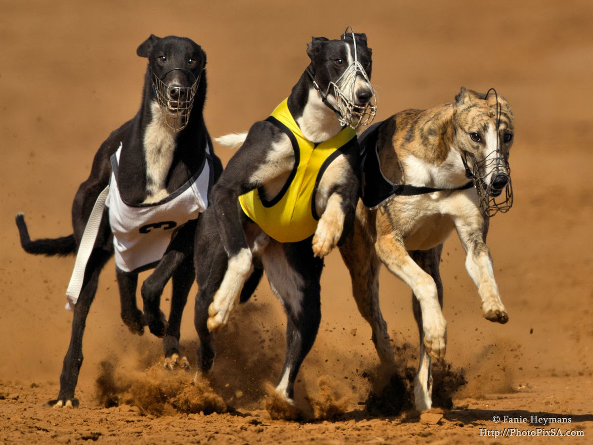 Greyhounds fighting for first place