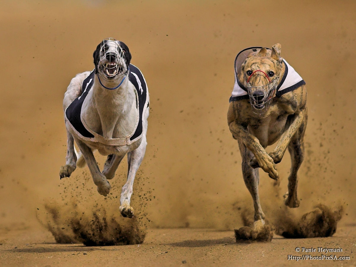 Greyhounds at top speed racing