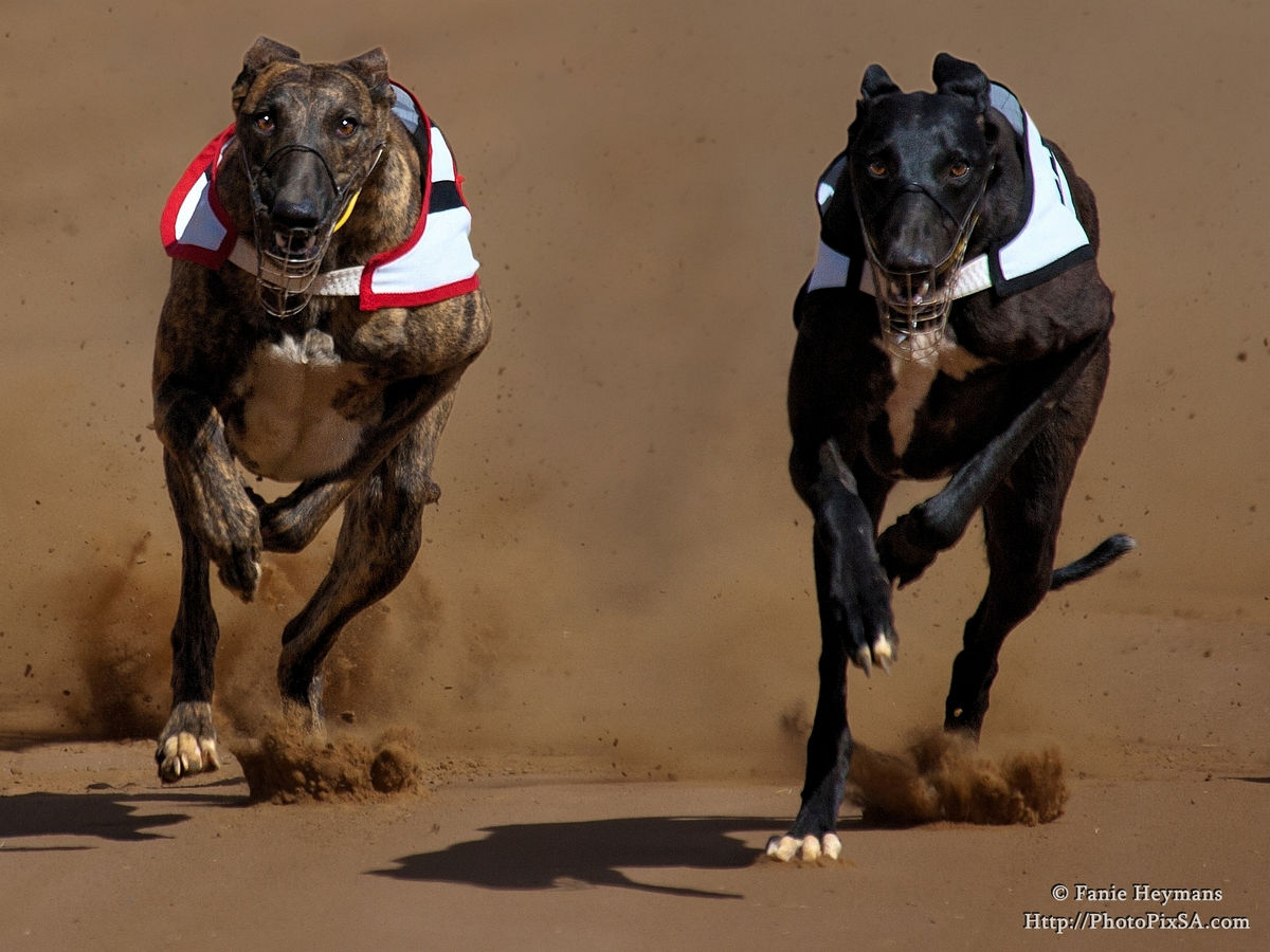 Greyhounds with dusty background