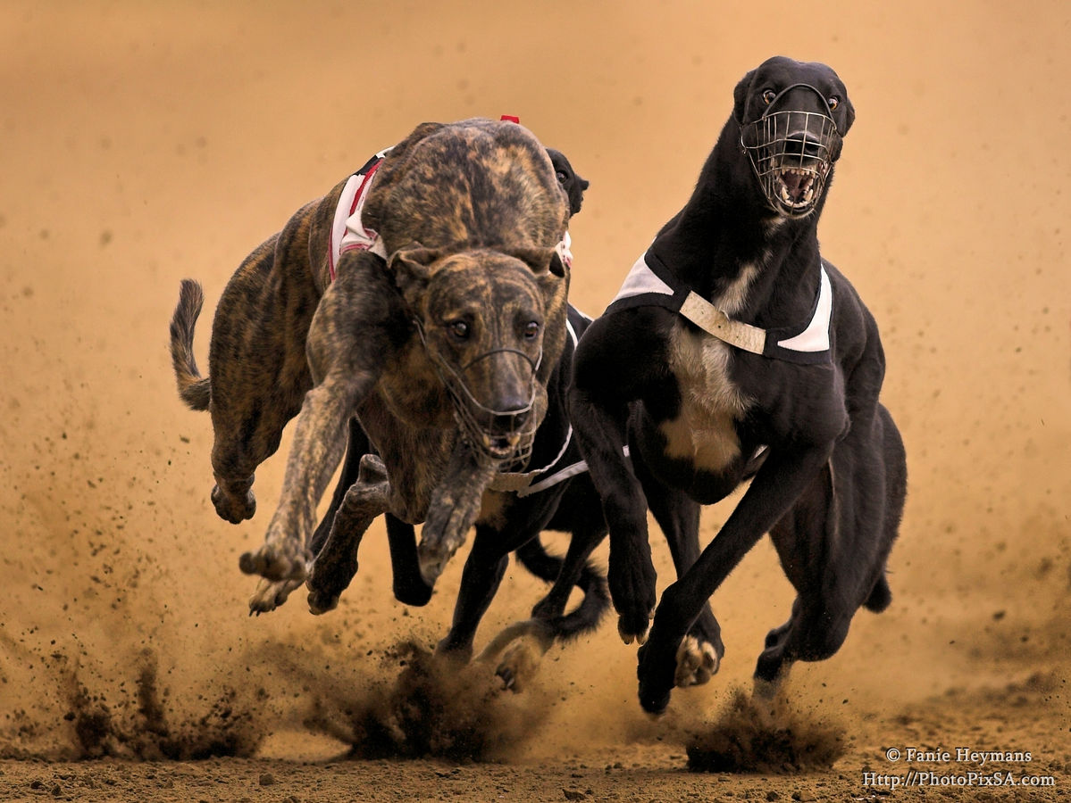 Muscle power Greyhound