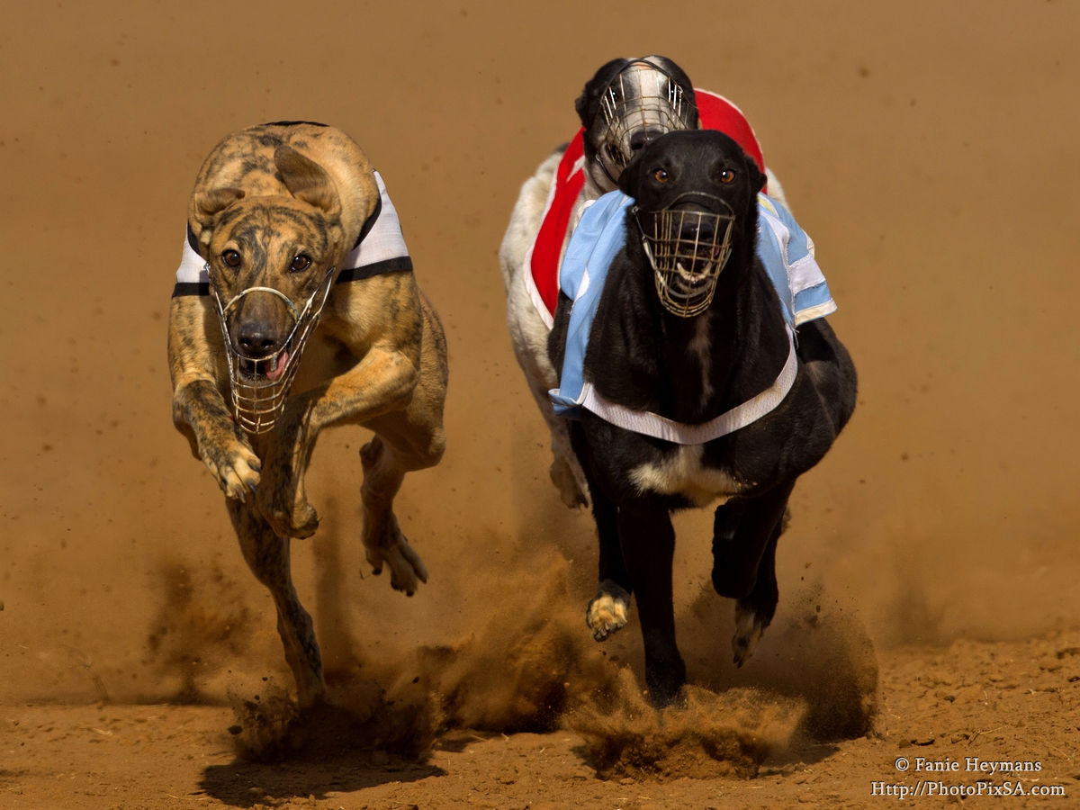 Thundering Greyhounds