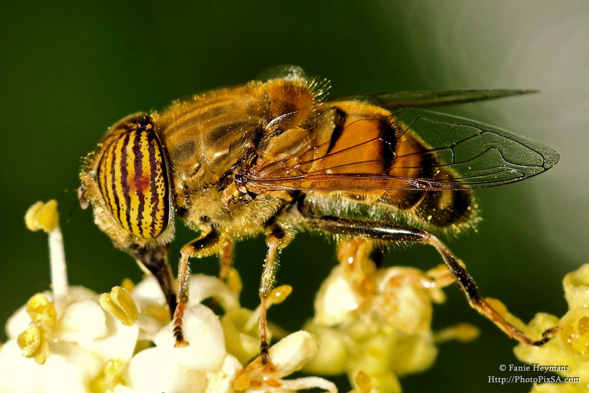 Band-eyed Drone Fly