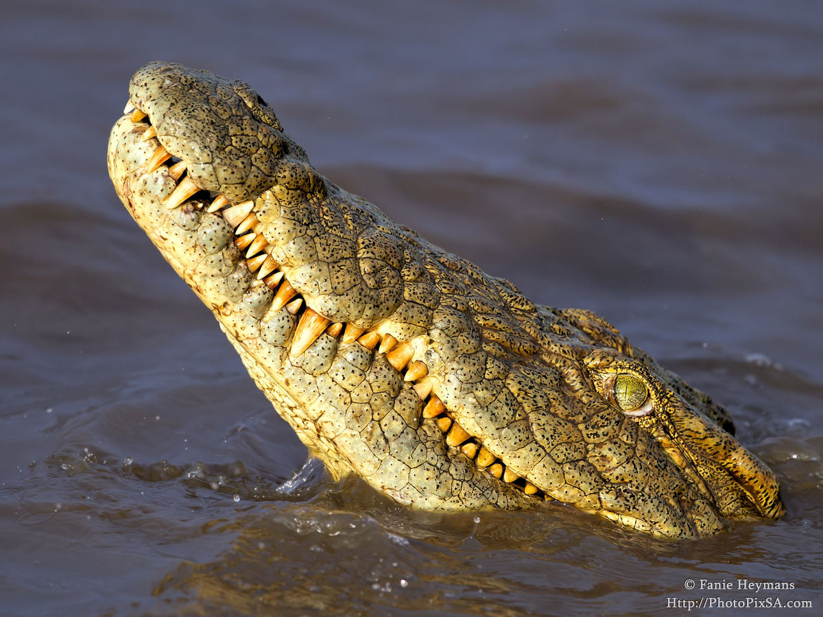 Crocodile emerching from the water