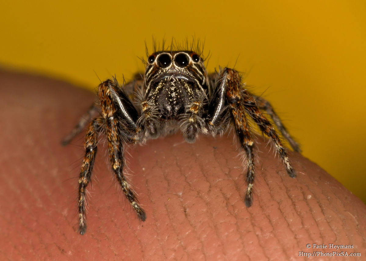 Small jumping spider on my finger