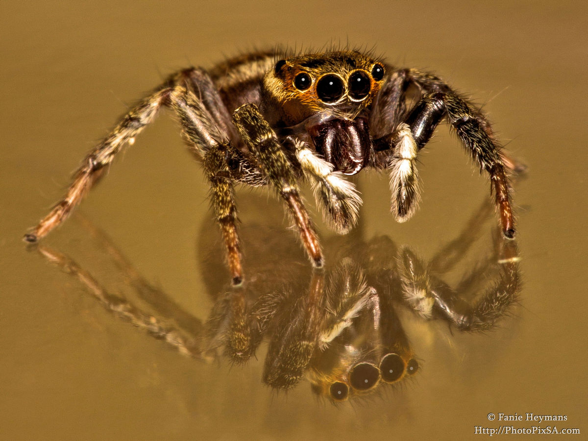 Jumping Spider Reflection