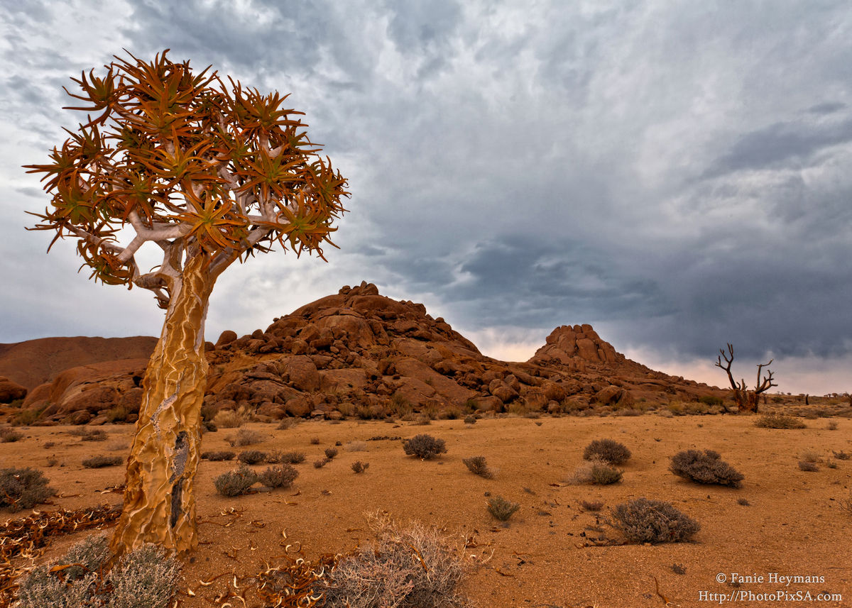 Lonely Quiver tree Ricthersveld Africa
