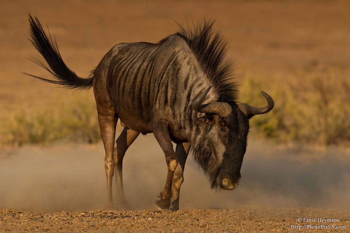 Angry Blue Wildebeest