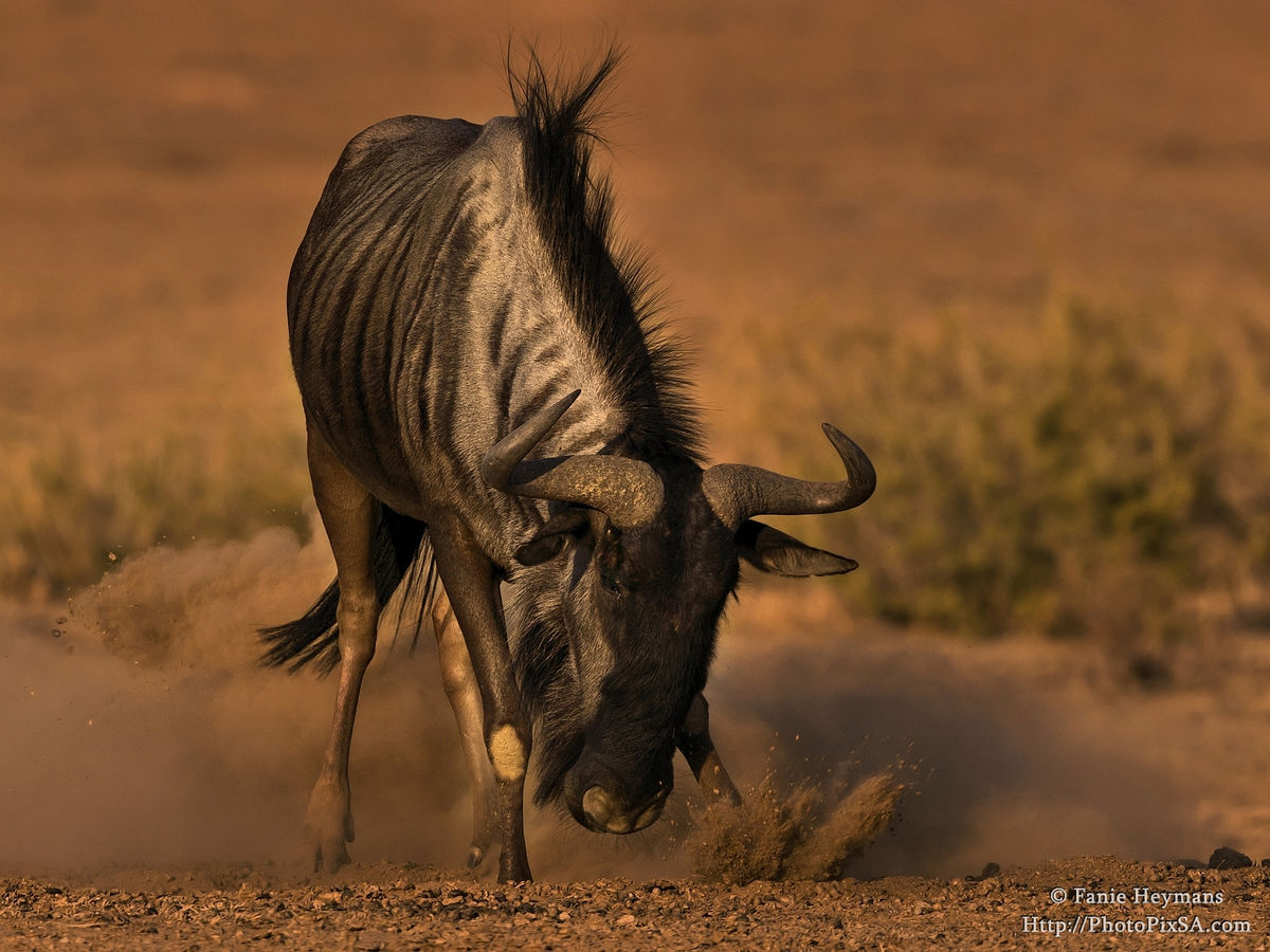 Blue Wildebeest kicking up sand