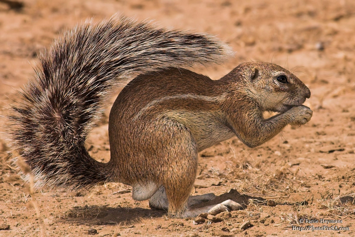 Ground Squirrel busy eating