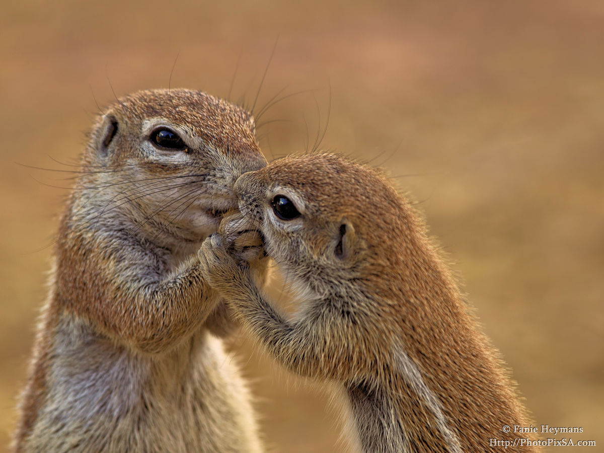 Ground Squirrels sharing some food