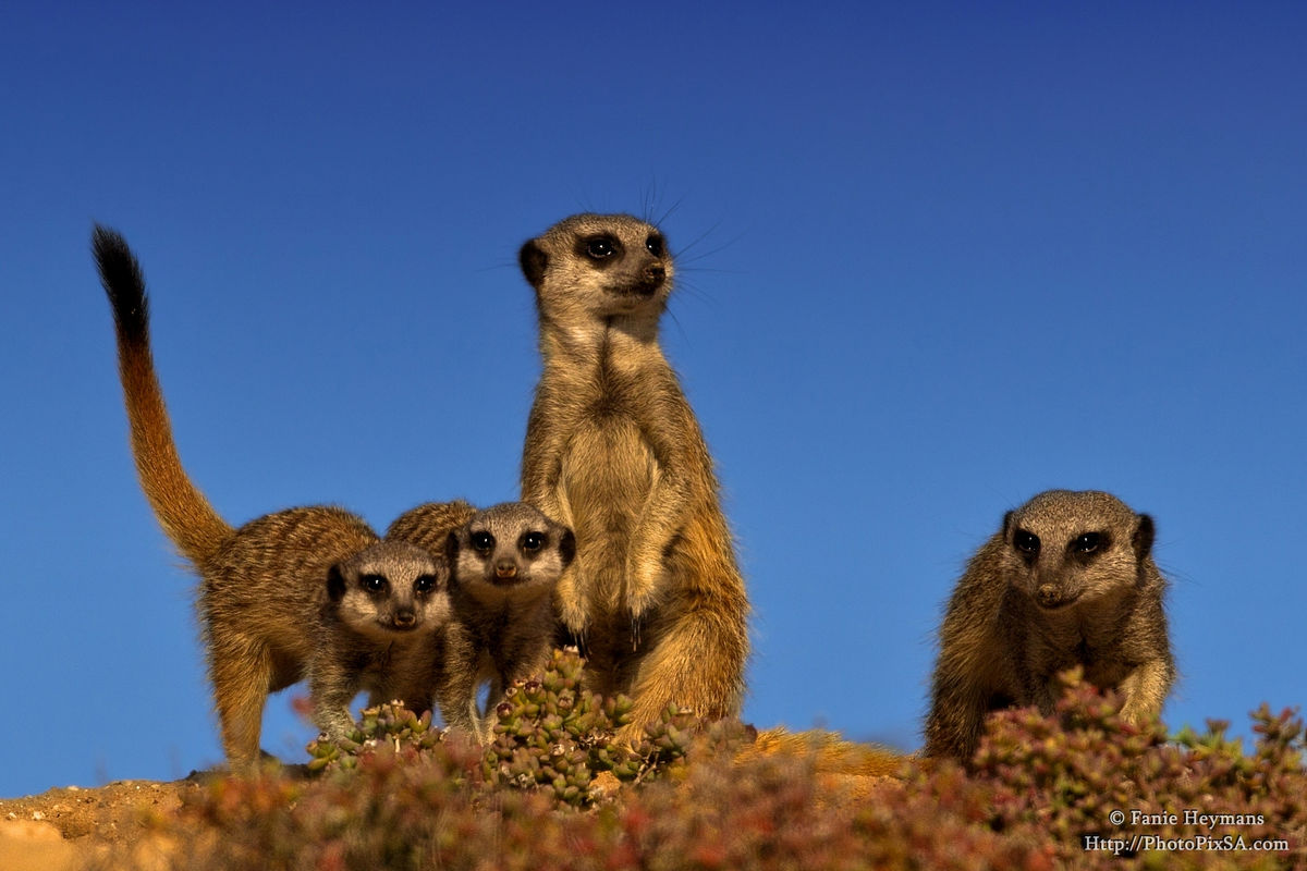 Meerkat Babies with adults