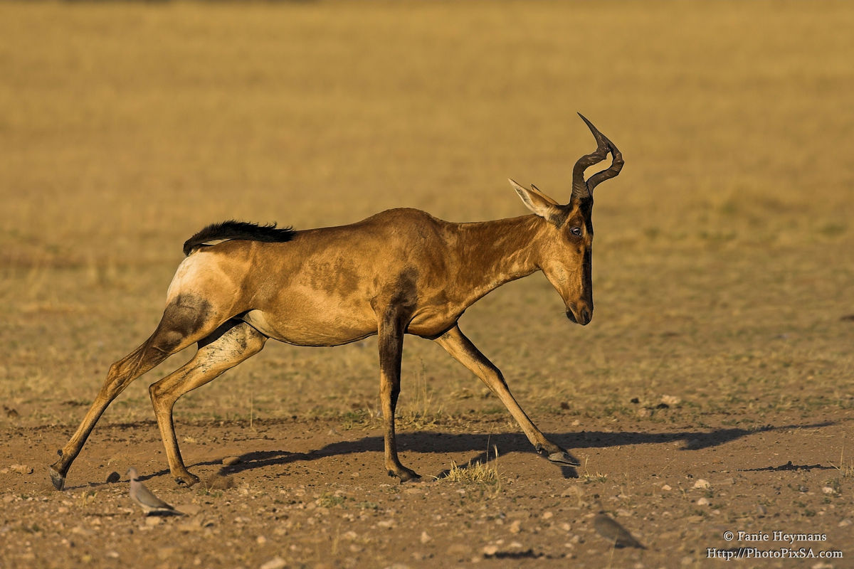 Red hartebeest on the run