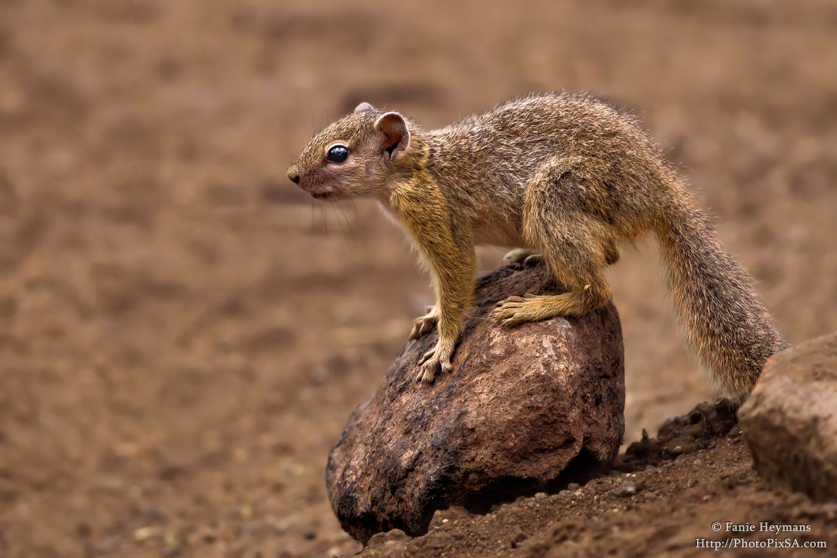 Tree Squirrel on a rock